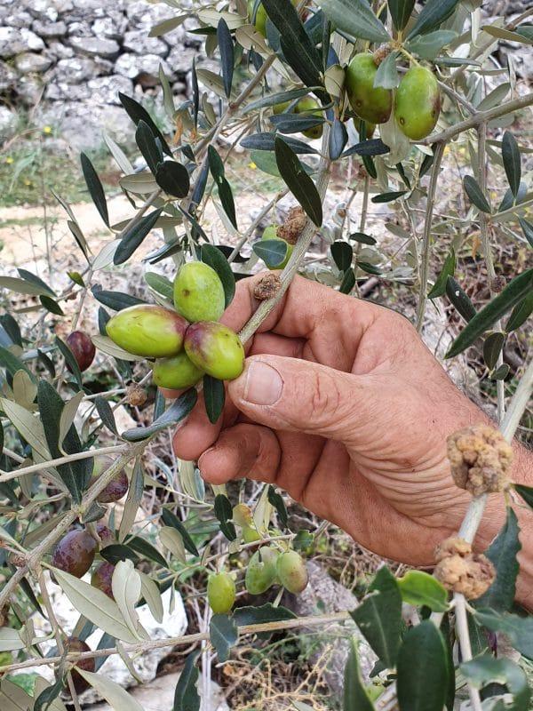 Die Oliven von Leonardo Conforte in Apulien