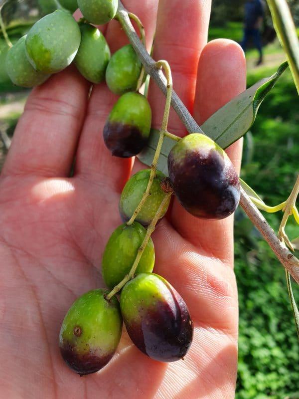 ELEA Oliven Apulien - für unser Öl aus Apulien