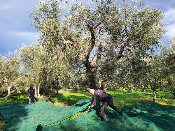 Die Olivenernte bei Leonardo Conforte in Apulien