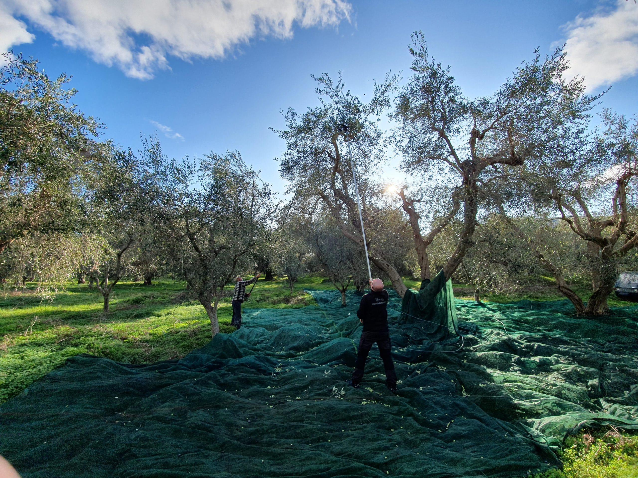 Die Olivenernte 2019 bei Leonardo Conforte in Apulien